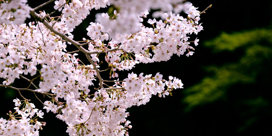 Why I Love Japan: Cherry Blossoms